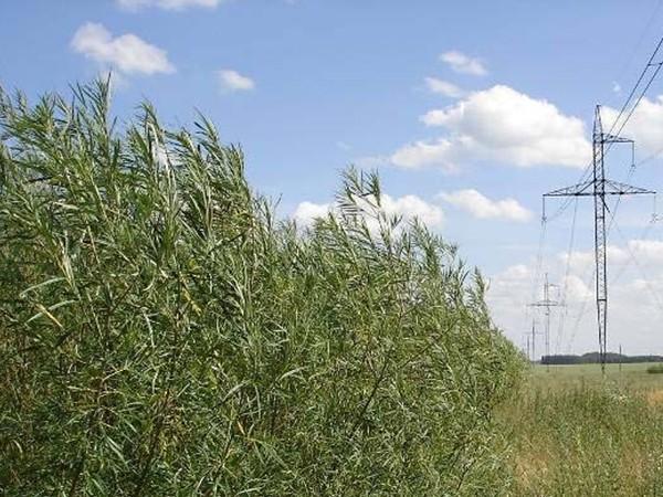 Plantáž vrb v zemědělské krajině [Foto : N.-E. Nordh, SLU]