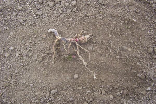 Rhizom Miscanthu