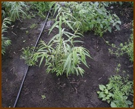 Příklady závlahových systémů plantáží při použití odpadních vod. [Foto: I. Dimitriou, SLU]