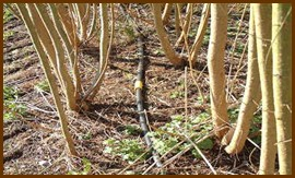 Příklady závlahových systémů plantáží při použití odpadních vod. [Foto: C. Johston, RGL]