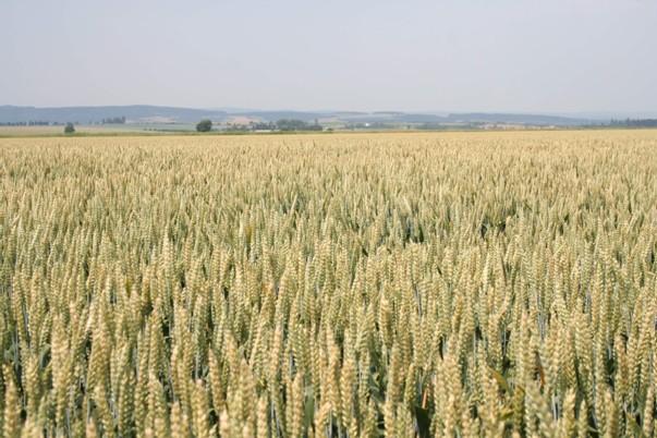 U pšenice ozimé lze předpokládat návrat k intenzifikaci výroby