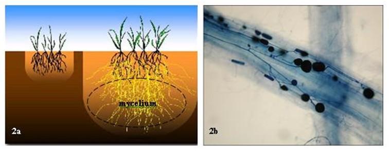 a - Rozdíl mezi rostlinou bez mykorhizy (vlevo) a rostlinou kolonizovanou mykorhizou (vpravo) se zvětšenou depletační zónou kořene pro příjem vody a živin díky rozvoji mycelia; b - Detail části kořene kolonizovaného mykorhizou v popředí, v pozadí kořen be