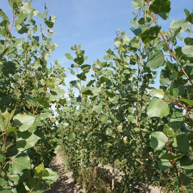 Jak na vykazování produkce a dodávek cíleně pěstované biomasy