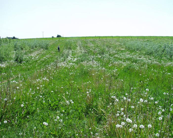 Zaplevelení pozemku v prvním roce vegetace RRD může být tragické