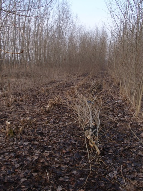 Plantáž rychlerostoucích dřevin