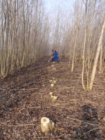 Pátá sklizeň nejstarší výmladkové plantáže v České republice